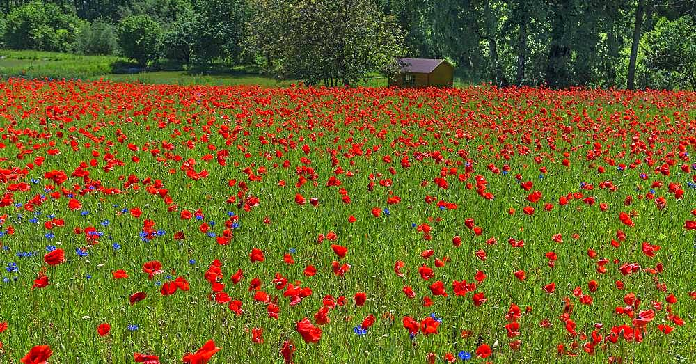 Blooming meadow with Corn poppies (Papaver rhoeas) and Cornflowers (Cyanus segetum), Franconia, Bavaria, Germany, Europe