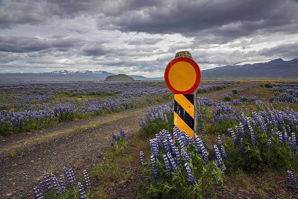 Closed path through flowering Lupins (Lupinus), at road 250, South Iceland, Iceland, Europe