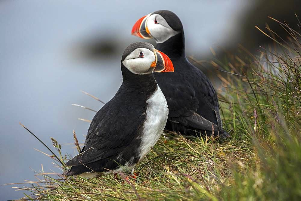 Two Puffins (Fratercula arctica), standing in the grass, bird rock Latrabjard, Westfjords, Iceland, Europe