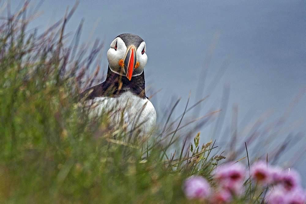 Puffin (Fratercula arctica), standing in the grass, bird rock Latrabjard, Westfjords, Iceland, Europe