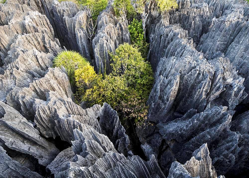 Rugged limestone rocks, limestone rocks in Tsingy de Bemaraha National Park, Madagascar, Africa