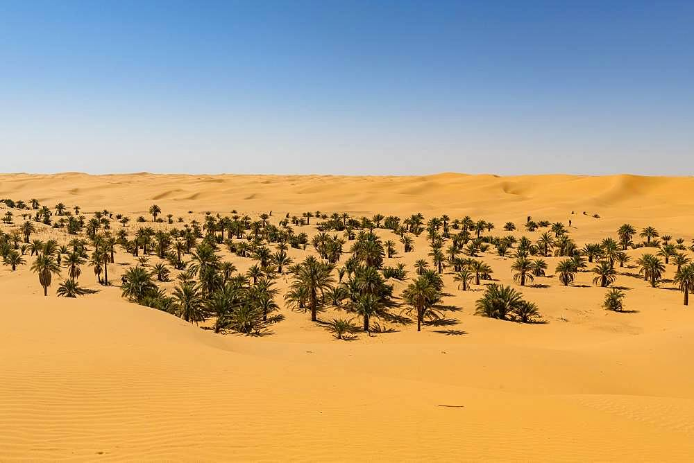 Palm grove in the sanddunes, near Timimoun, western Algeria, Algeria, Africa