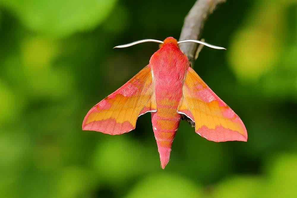 Small elephant hawk-moth (Deilephila porcellus) sits at a branch, Rhineland-Palatinate, Germany, Europe