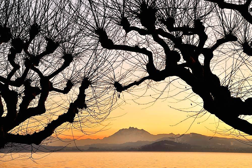 Silhouette of chestnut trees in front of a mountain range with Pilatus, Lake Zug at sunset, Canton Zug, Switzerland, Europe