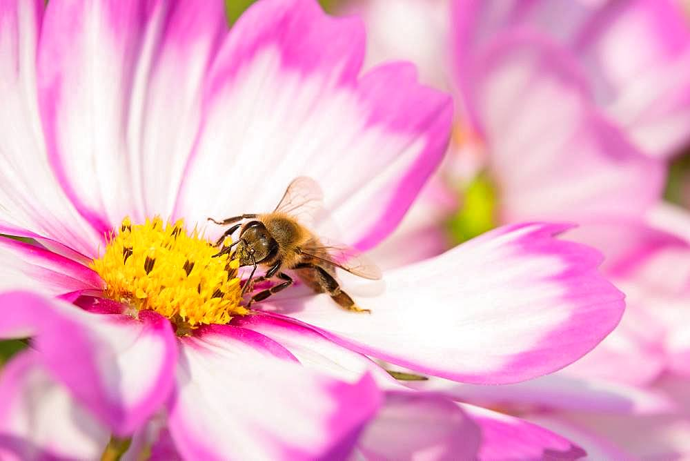 Mexican aster (Cosmea bipinnata) with bee at flower, Germany, Europe