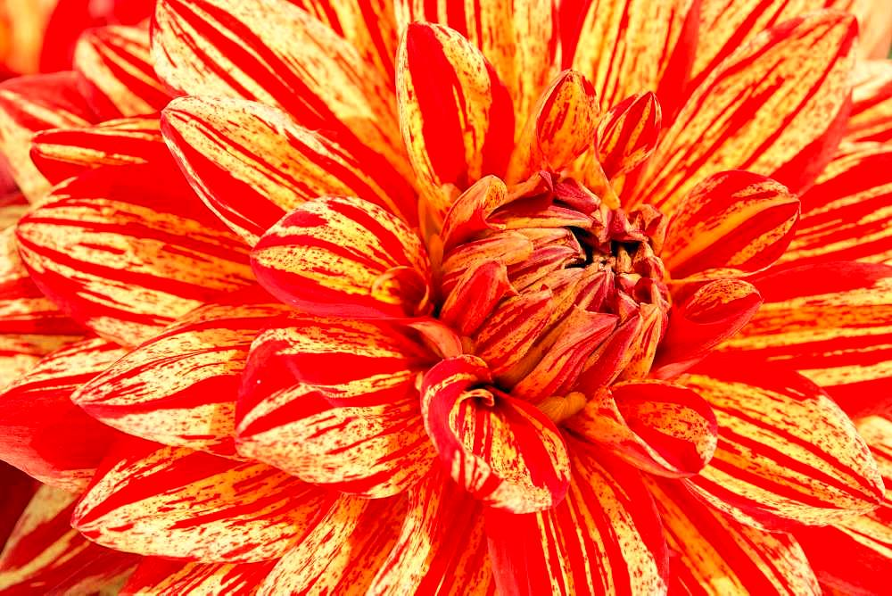 Dahlia (Dahlia), flower, close-up, Germany, Europe