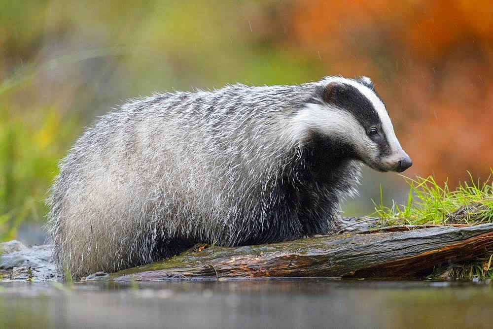 European badger (Meles meles), by the water in the rain foraging for food, Sumava National Park, Bohemian Forest, Czech Republic, Europe