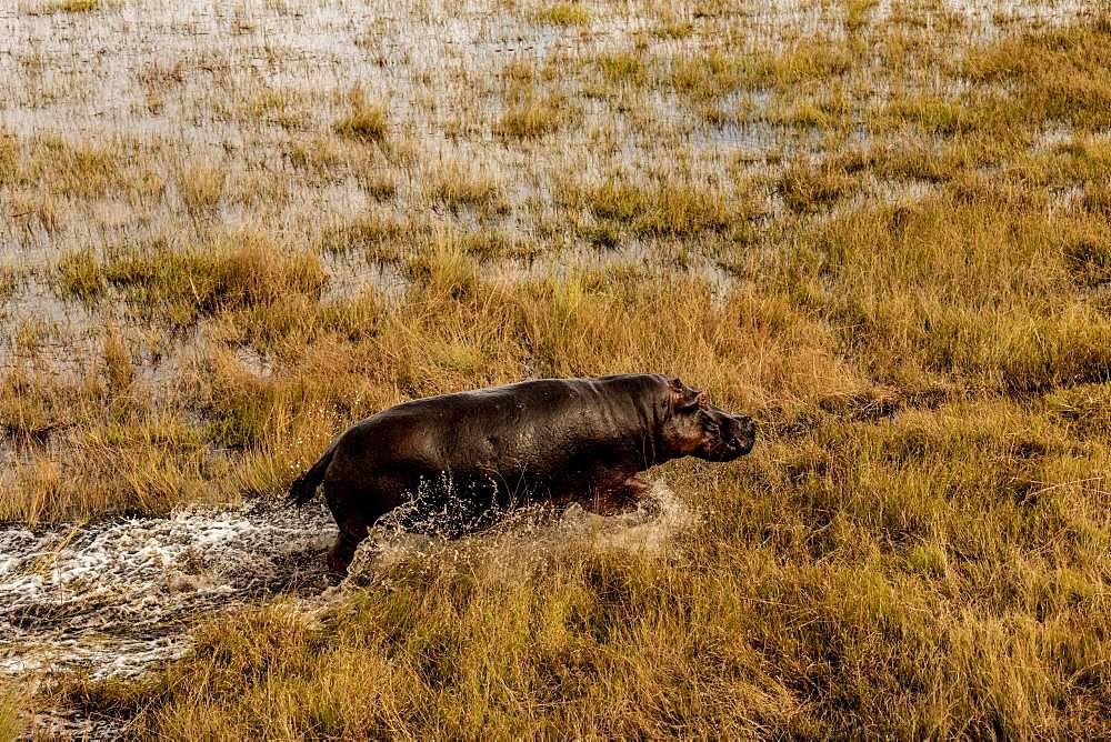 Hippo (Hippopotamus amphibius) in the swamp area, Okavango Delta, Botswana, Africa