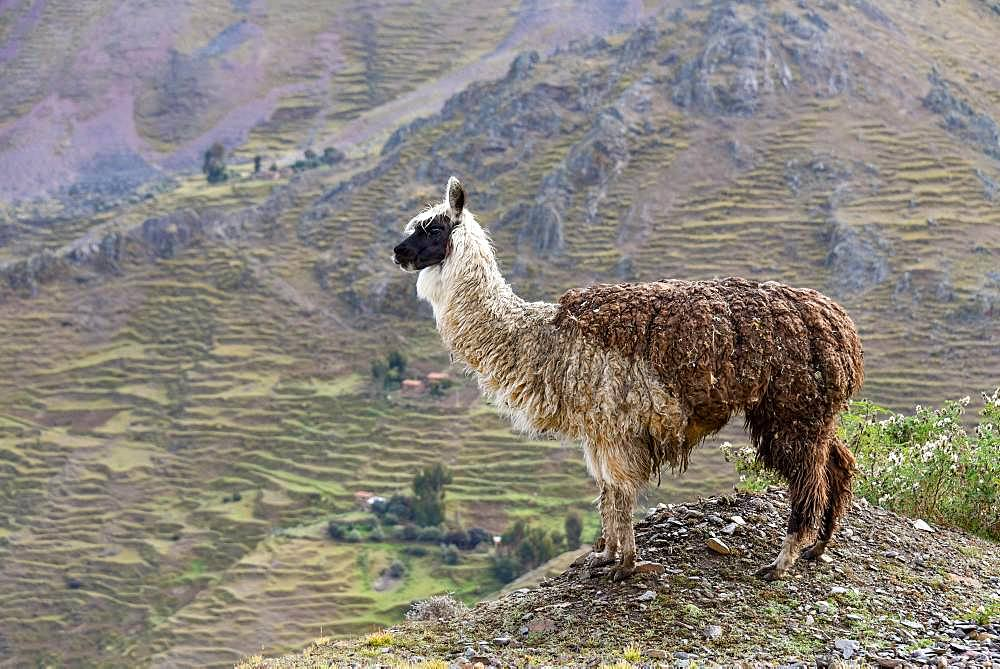 Llama (Llama glama) in front of mountain, near Cusco, Andes, Peru, South America