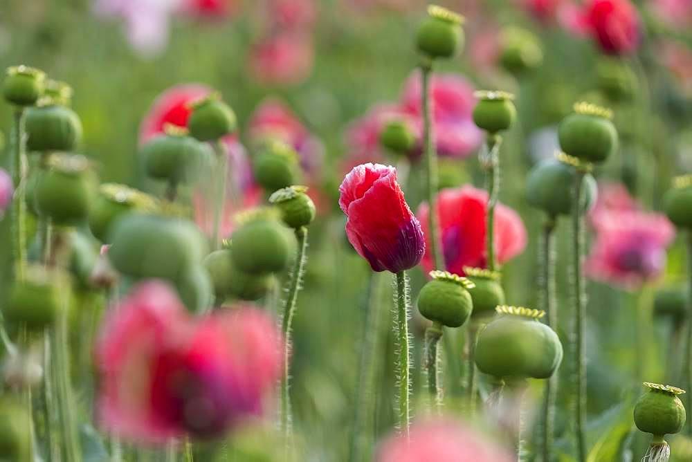 Waldviertler Grey Poppy, Opium poppy (Papaver somniferum), Lower Austria, Austria, Europe