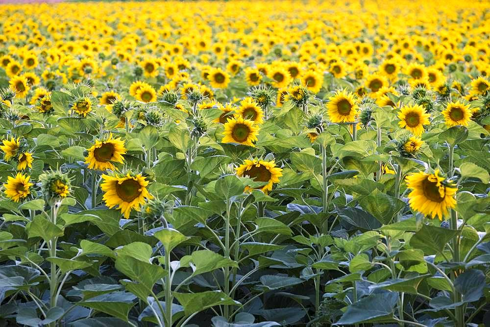 Sunflowers (Helianthus annuus) in a field, in full bloom, Lower Austria, Austria, Europe
