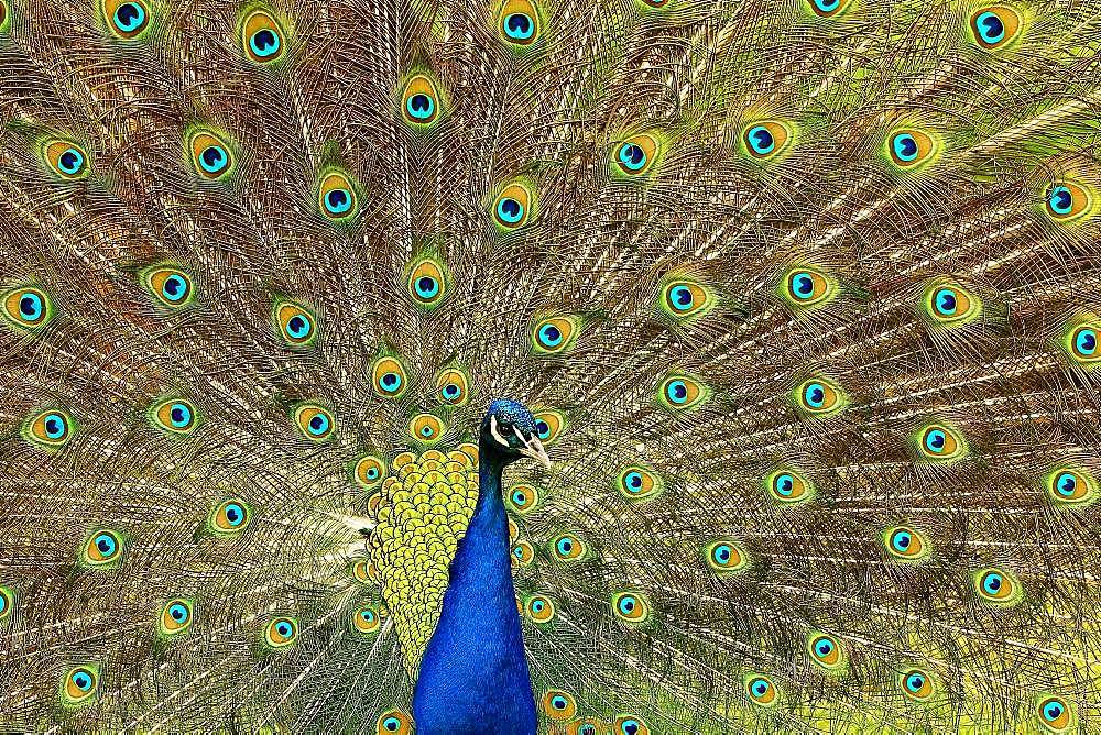 Indian peafowl (Pavo cristatus), beating the wheel, captive, North Rhine-Westphalia, Germany, Europe