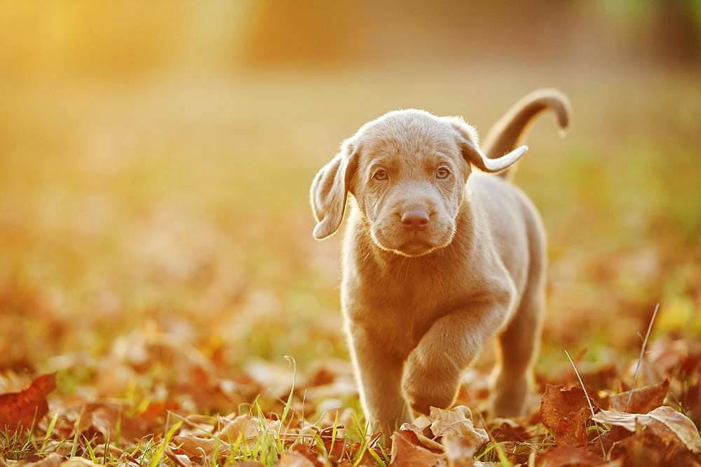 Labrador Retriever puppie walking on a meadow in autumn, Germany, Europe