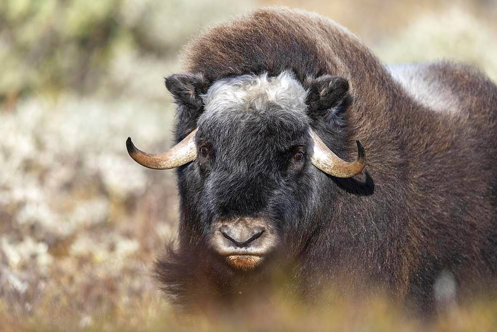 Musk ox (Ovibos moschatus), young animal, animal portrait, Dovrefjell-Sunndalsfjella National Park, Norway, Europe