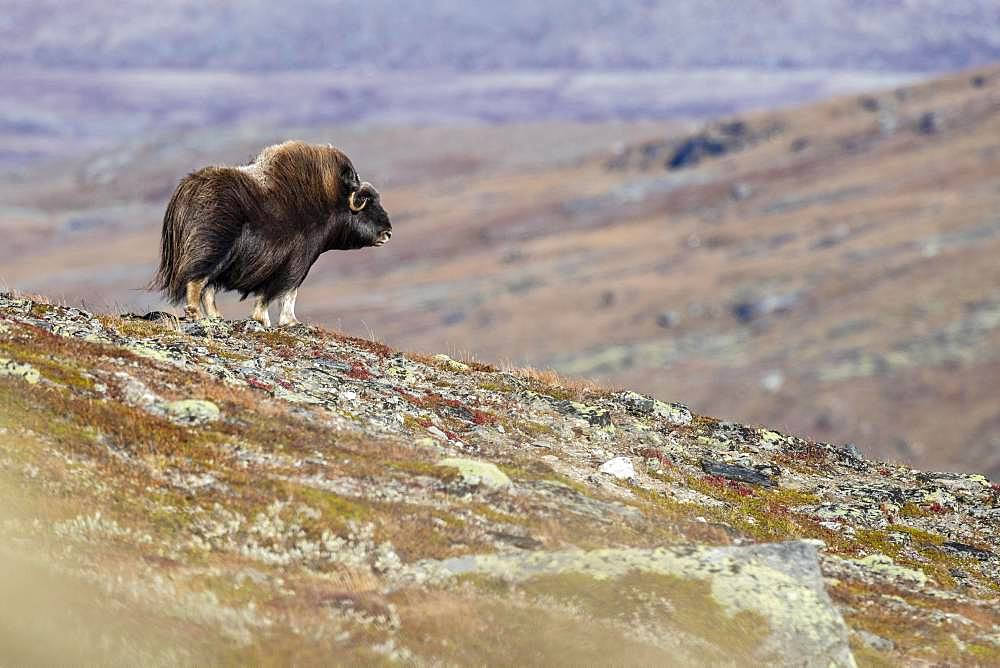 Muskox (Ovibos moschatus), female, Dovrefjell-Sunndalsfjella National Park, Norway, Europe