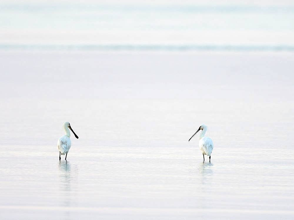 Two Common spoonbills (Platalea leucorodia), standing in shallow water, Texel, North Holland, Netherlands