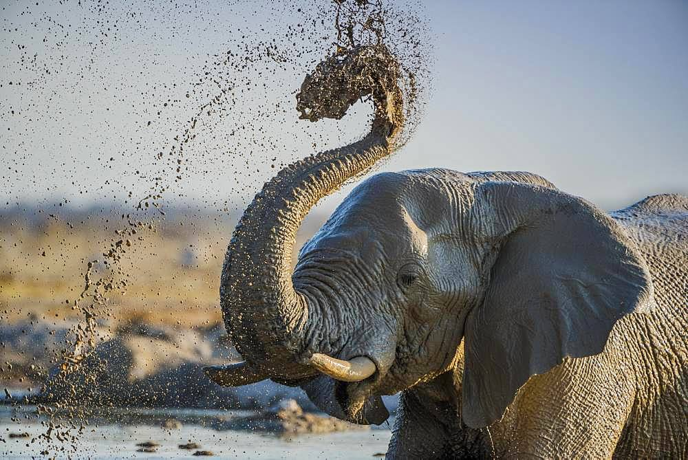 African elephant (Loxodonta africana) splashing mud at a waterhole, animal portrait, Nxai Pan National Park, Ngamiland, Botswana, Africa