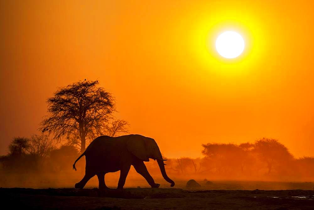 African elephant (Loxodonta africana) runs at sunset, Nxai Pan National Park, Ngamiland, Botswana, Africa