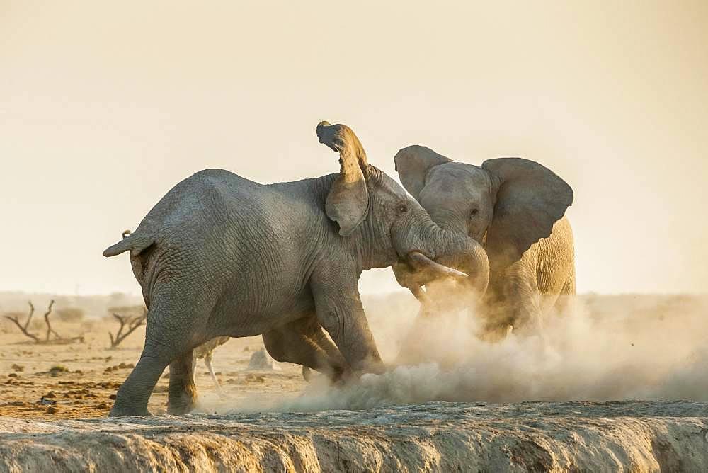 African elephants (Loxodonta africana) fight, Nxai Pan National Park, Ngamiland, Botswana, Africa
