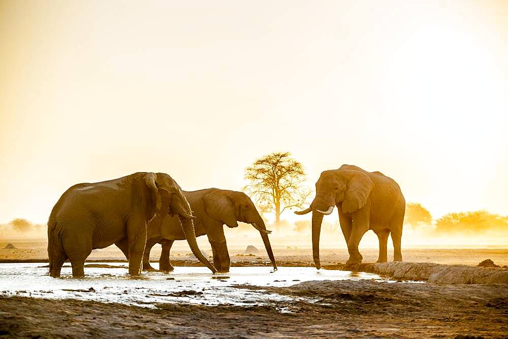 African elephants (Loxodonta africana), Group of animals at a waterhole, Sunset, Nxai Pan National Park, Ngamiland, Botswana, Africa