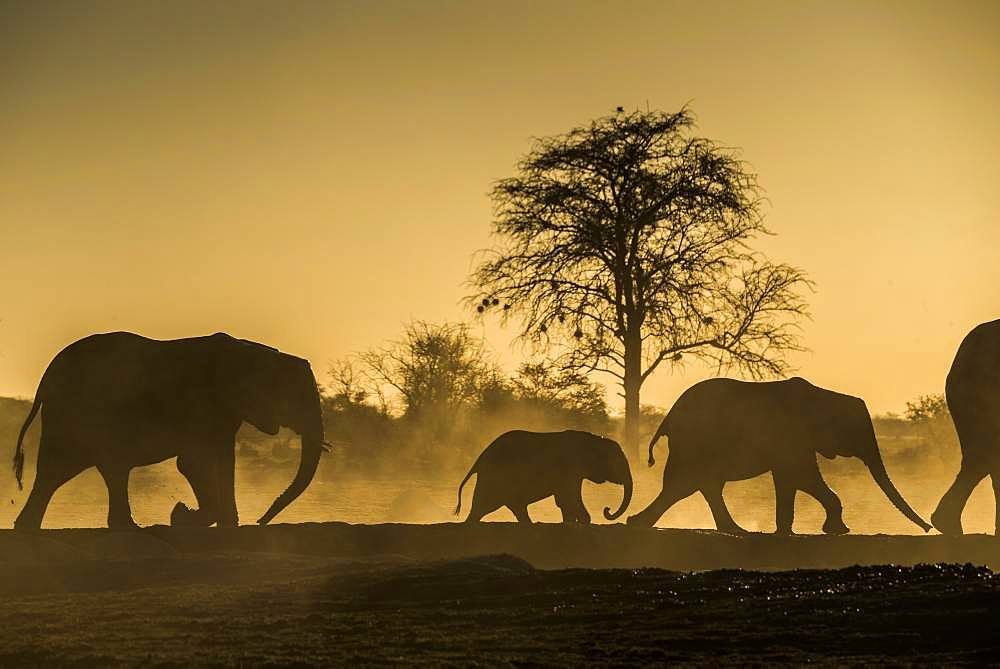 African elephants (Loxodonta africana), with young animals backlit in dusty savannah, sunset, Nxai Pan National Park, Ngamiland, Botswana, Africa