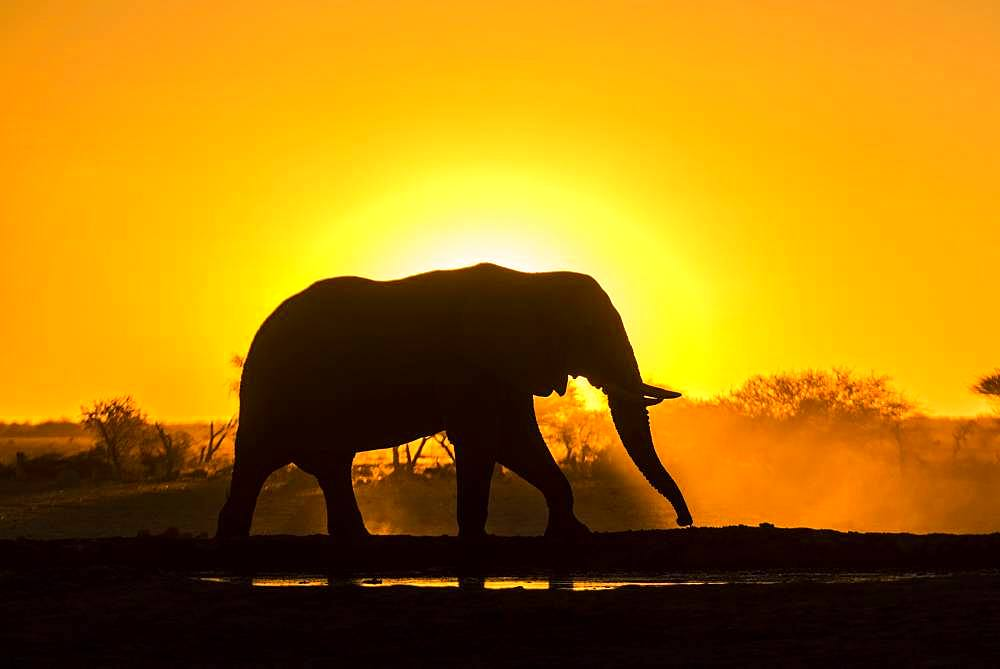African elephant (Loxodonta africana) in backlight in front of setting sun, Nxai Pan National Park, Ngamiland, Botswana, Africa - 832-386179