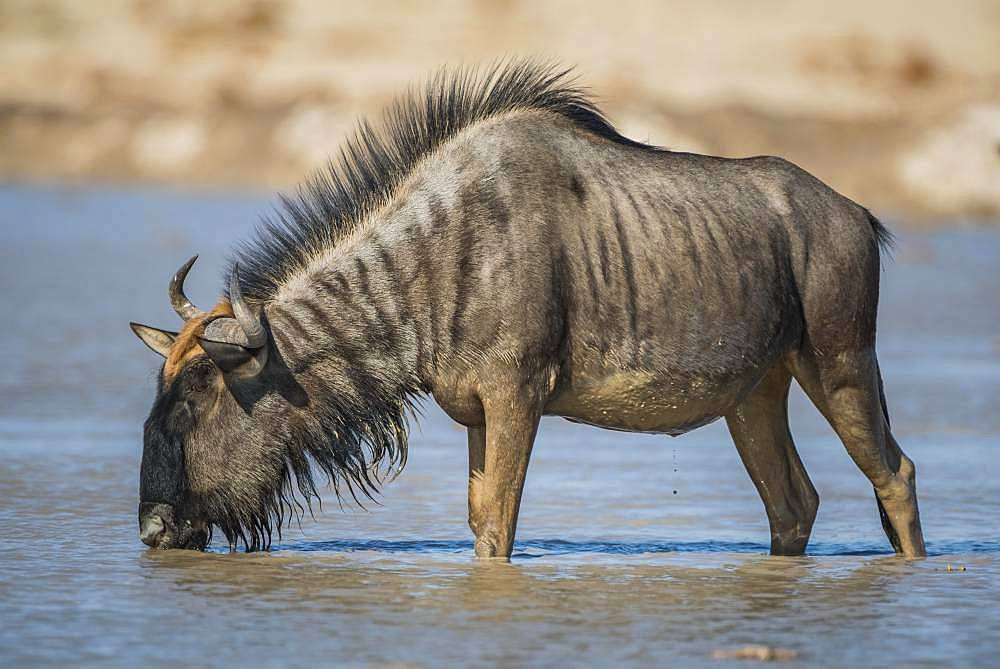 Blue wildebeest (Connochaetes taurinus) drinking in a waterhole, Nxai Pan National Park, Ngamiland, Botswana, Africa