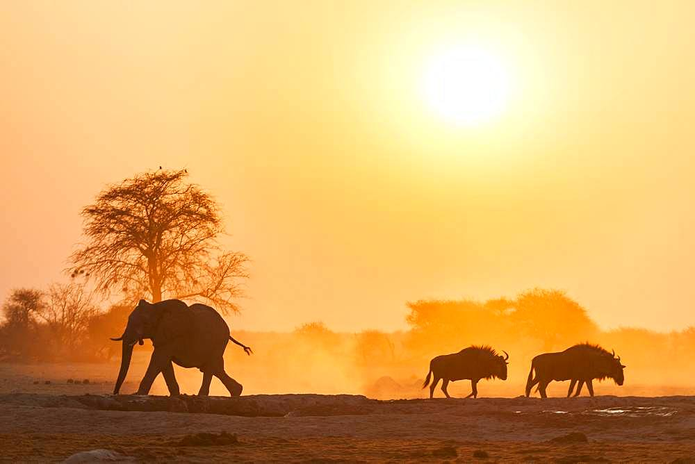 African elephant (Loxodonta africana) and Blue wildebeests (Connochaetes taurinus) backlit at sunset at a waterhole, Nxai Pan National Park, Ngamiland, Botswana, Africa