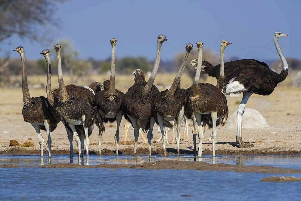 Common ostriches (Struthio camelus), animal group, a cock with female at a waterhole, Nxai Pan National Park, Ngamiland, Botswana, Africa