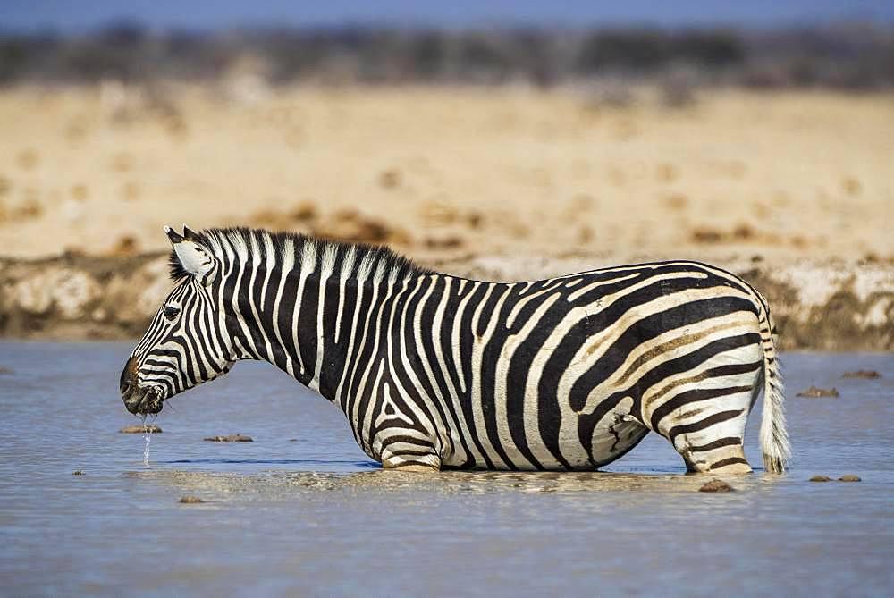Burchell's Zebra (Equus quagga burchelli) stands in waterhole, Nxai Pan National Park, Ngamiland, Botswana, Africa