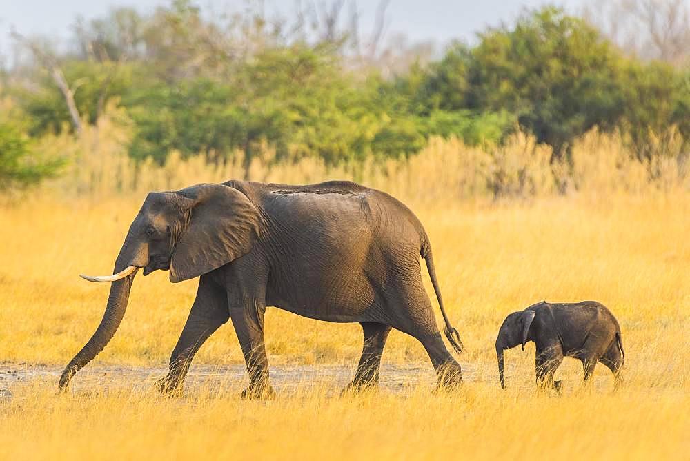 African elephants (Loxodonta africana), elephant calf with dam, Moremi Wildlife Reserve, Ngamiland, Botswana, Africa