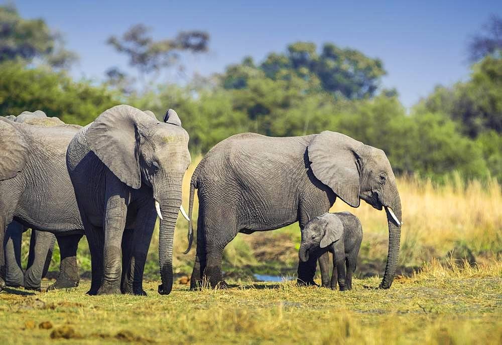 African elephants (Loxodonta africana), Herd with young animal at a waterhole, Moremi Wildlife Reserve, Ngamiland, Botswana, Africa