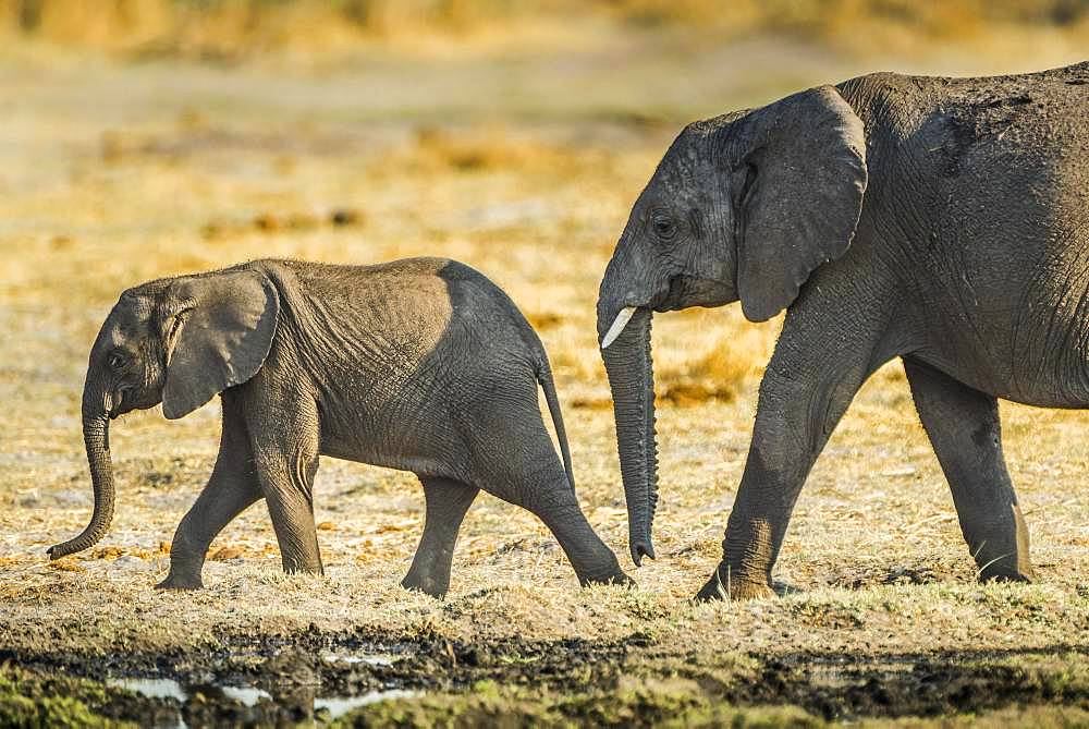 African elephants (Loxodonta africana), two young animals, ongoing, Moremi Wildlife Reserve, Ngamiland, Botswana, Africa