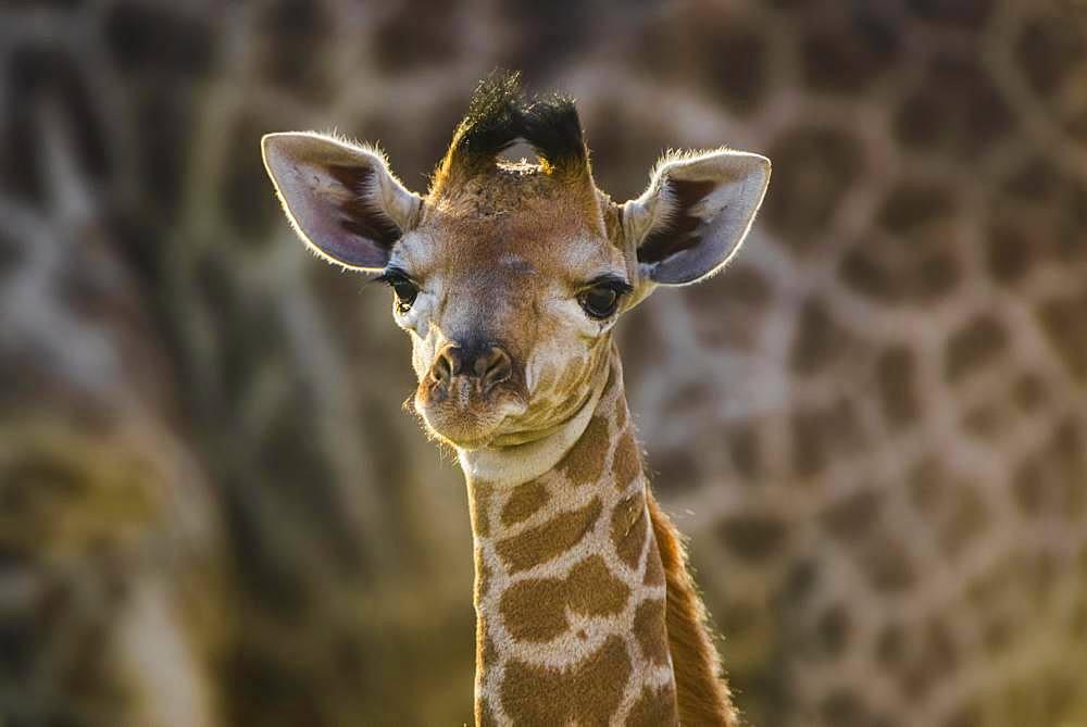 Angolan Giraffe (Giraffa camelopardalis angolensis), young animal, animal portrait, Moremi Wildlife Reserve, Ngamiland, Botswana, Africa