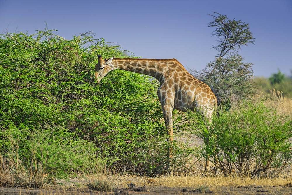 Angolan Giraffe (Giraffa camelopardalis angolensis) eating on a shrub, Moremi Wildlife Reserve, Ngamiland, Botswana, Africa