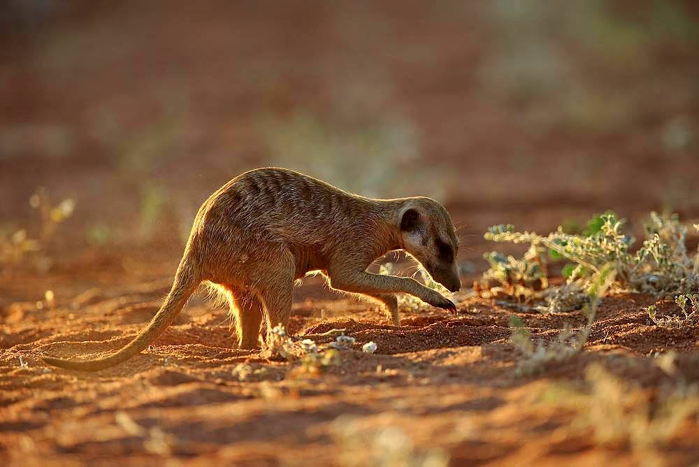 Meerkat (Suricata suricatta), adult, digging for food, foraging, Tswalu Game Reserve, Kalahari, North Cape, South Africa, Africa