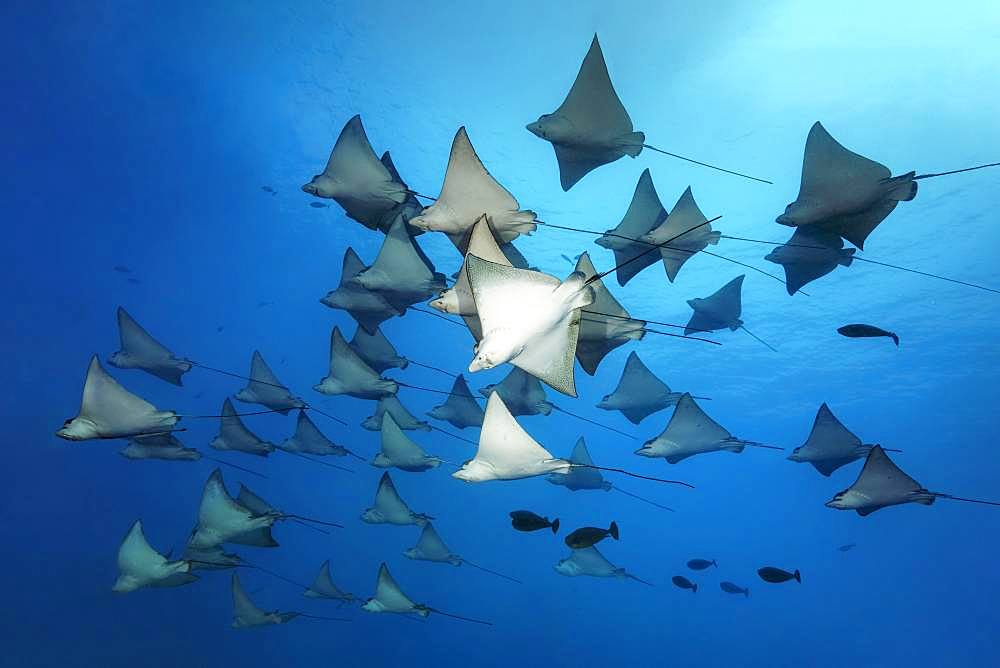 Swarm Spotted eagle ray (Aetobatus narinari), Great Barrier Reef, Unesco World Heritage Site, Pacific, Australia, Oceania