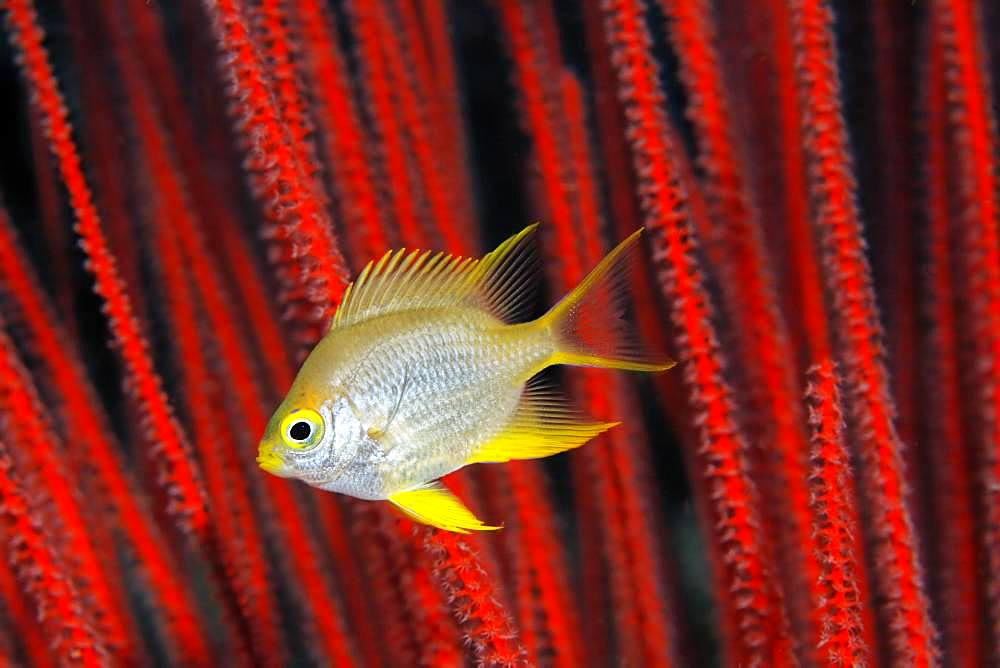 Golden damselfish (Amblyglyphidodon aureus) in front of red rod gorgonian (Ellisella ceratophyta), Great Barrier Reef, Unesco World Heritage Site, Pacific, Australia, Oceania