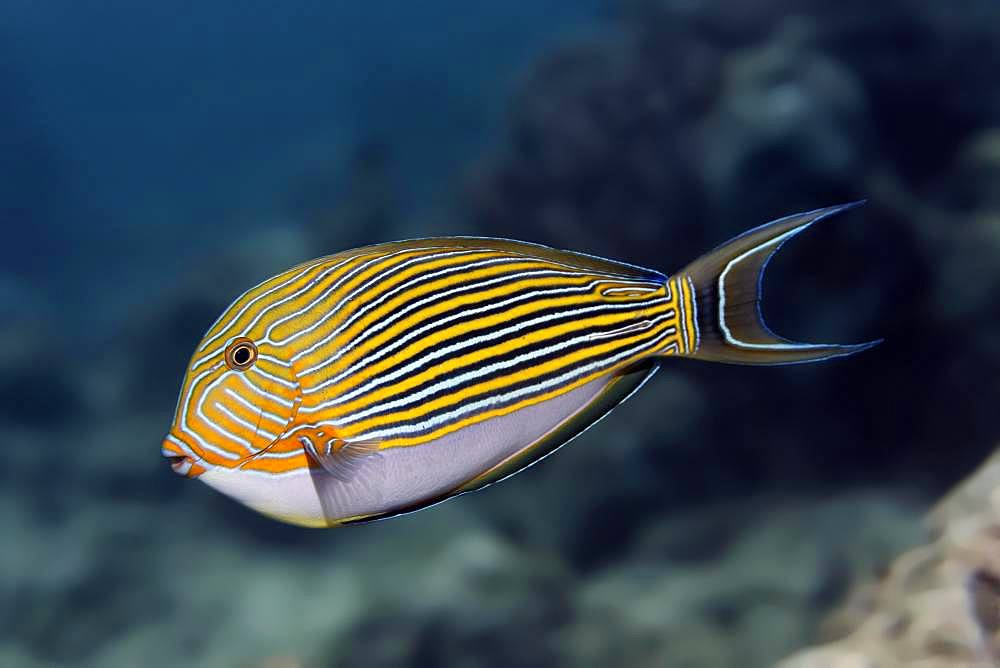 Striped Surgeonfish (Acanthurus lineatus), Great Barrier Reef, Unesco World Heritage Site, Pacific, Australia, Oceania