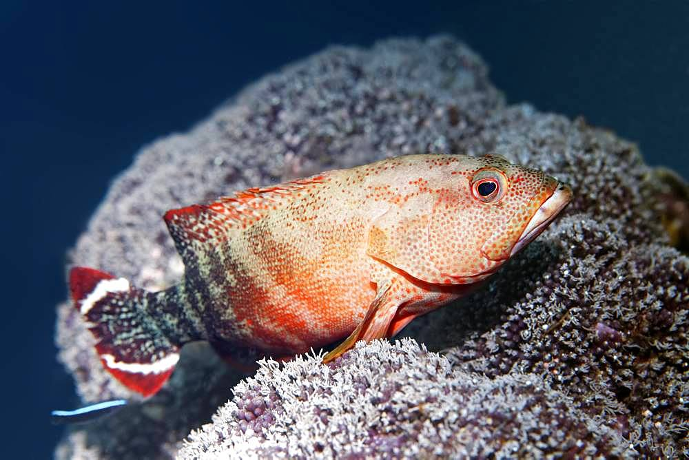 Flagtail Rockcod (Cephalopholis urodeta), Great Barrier Reef, Unesco World Heritage Site, Pacific, Australia, Oceania