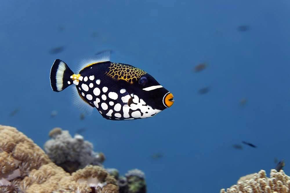 Clown triggerfish (Balistoides conspicillum), Great Barrier Reef, Unesco World Heritage Site, Pacific, Australia, Oceania