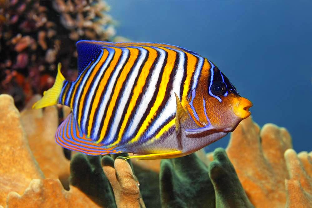 Royal angelfish (Pygoplites diacanthus), Great Barrier Reef, Unesco World Heritage Site, Pacific, Australia, Oceania