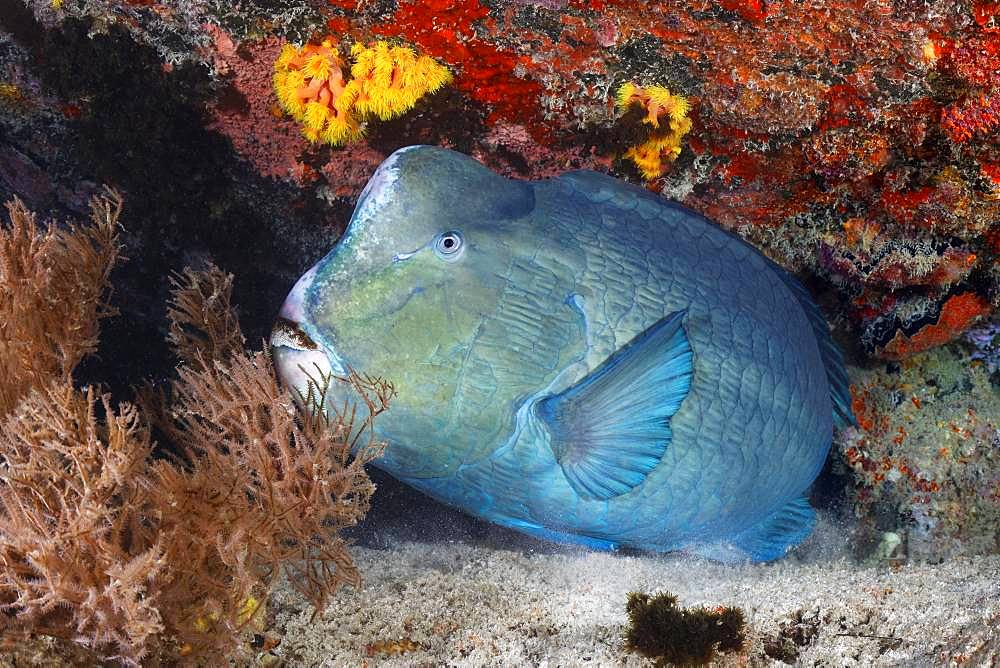 Green humphead parrotfish (Bolbometopon muricatum) sleeps at night in shelter, Great Barrier Reef, Unesco World Heritage, Pacific, Australia, Oceania