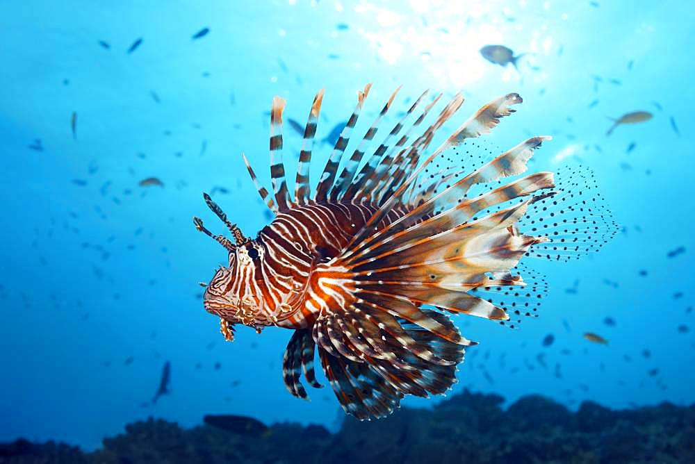 Red Lionfish (Pterois volitans) swims over coral reef in the backlight of the sun, Great Barrier Reef, Unesco World Heritage, Pacific, Australia, Oceania