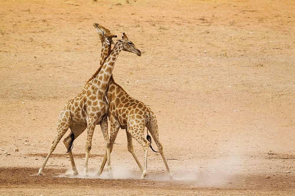 Southern Giraffes (Giraffa camelopardalis giraffa), fighting males in the dry and barren Auob riverbed, Kalahari Desert, Kgalagadi Transfrontier Park, South Africa, Africa