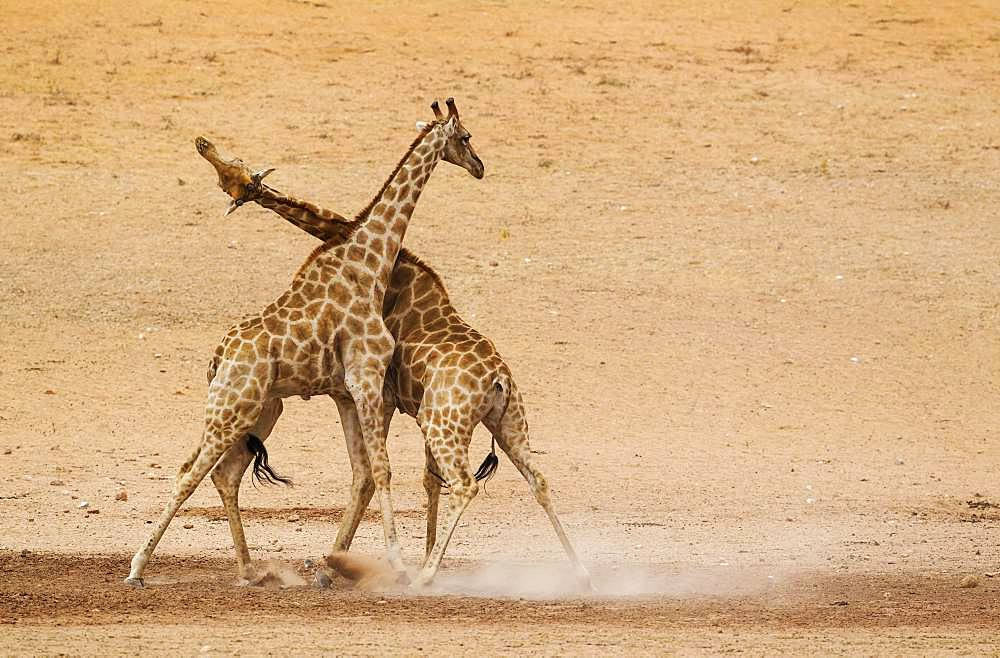 Southern Giraffes (Giraffa camelopardalis giraffa), fighting males in the dry and barren Auob riverbed, Kalahari Desert, Kgalagadi Transfrontier Park, South Africa, Africa