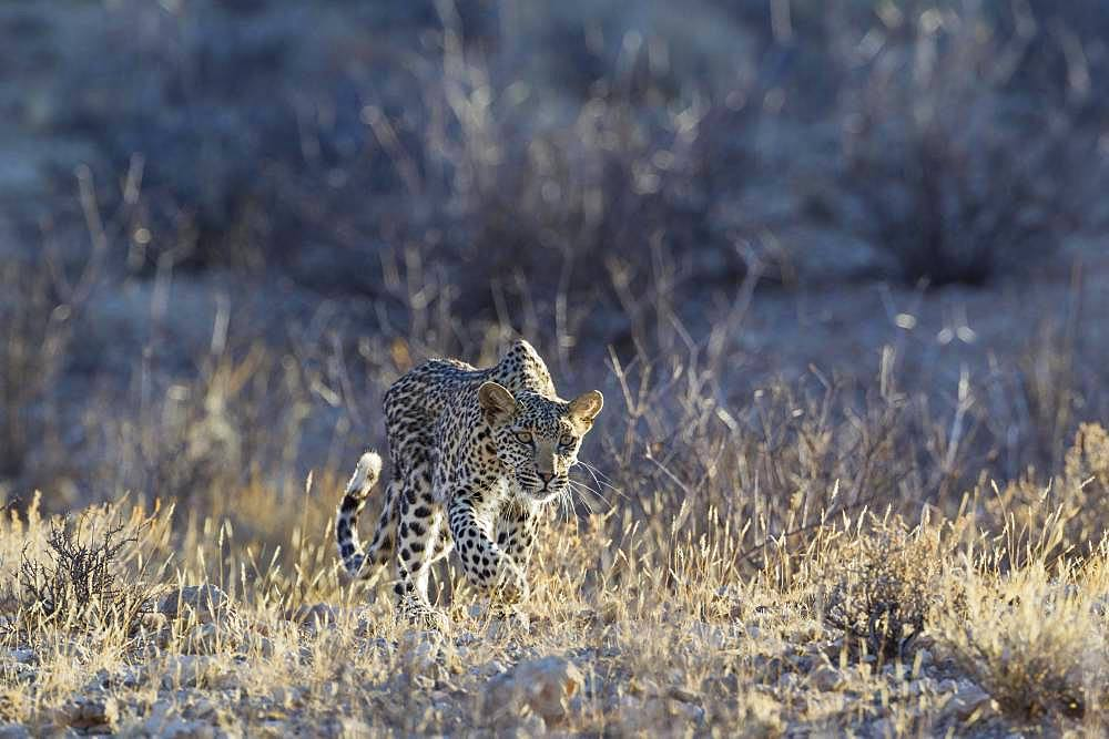 Leopard (Panthera pardus), young female, stalking, Kalahari Desert, Kgalagadi Transfrontier Park, South Africa, Africa