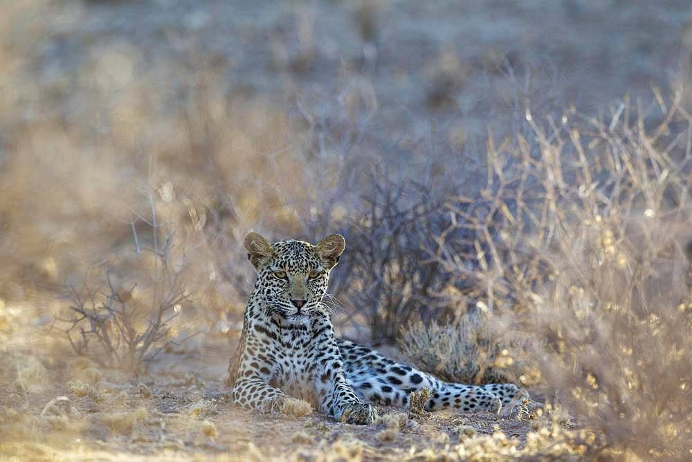 Leopard (Panthera pardus), young female, resting in dry bushland, Kalahari Desert, Kgalagadi Transfrontier Park, South Africa, Africa