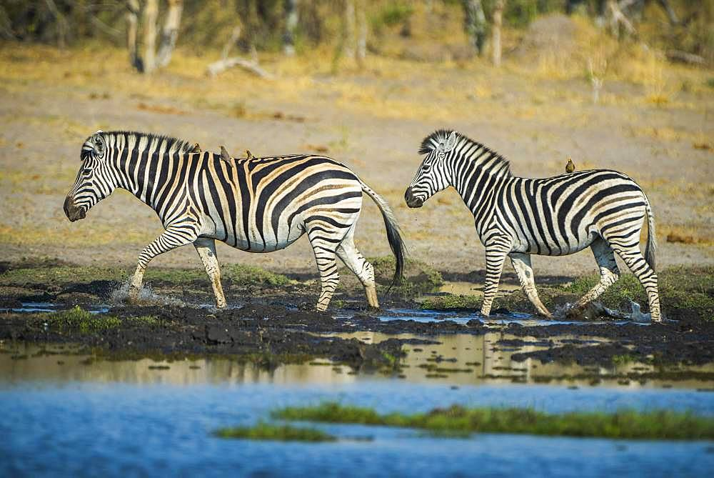 Burchell's Zebras (Equus quagga burchelli) at a waterhole, Moremi Wildlife Reserve, Ngamiland, Botswana, Africa