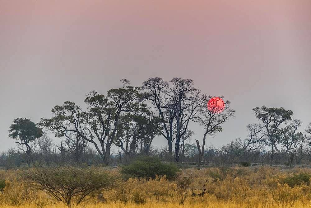 Bush landscape with setting red sun, Moremi Wildlife Reserve, Ngamiland, Botswana, Africa